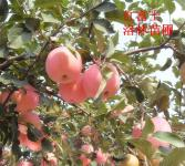 苹果苗-苹果