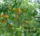杏亚博国际登录网址-杏树