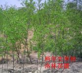 枣亚博国际登录网址-两年生枣树