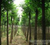 绿化亚博国际登录网址-大规格国槐