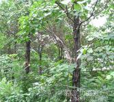 绿化亚博国际登录网址-大规格楸树