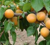 洛阳杏亚博国际登录网址-杏树
