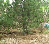 绿化亚博国际登录网址-白皮松