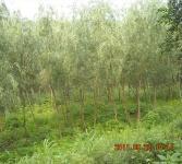 绿化亚博国际登录网址-柳树