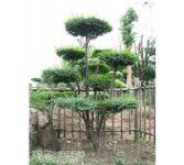 绿化亚博国际登录网址-小叶女贞造型树