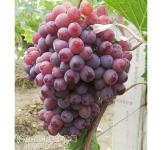葡萄苗-葡萄