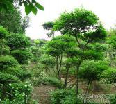 绿化亚博国际登录网址-小叶女贞造型园