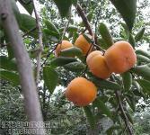柿亚博国际登录网址-柿树结果状