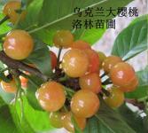 樱桃苗-乌克兰大樱桃