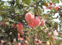 苹果苗-红富士