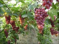 葡萄苗-巨峰葡萄