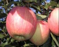 苹果苗-美国8号苹果