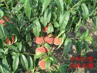 中华红蜜桃